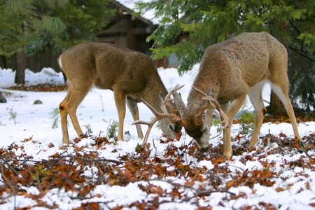 Two Young Mule Deer Bucks Forage For Food ~ Odocoileus hemionus photo