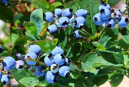 cluster: Juicy Blueberries ripening on the bush