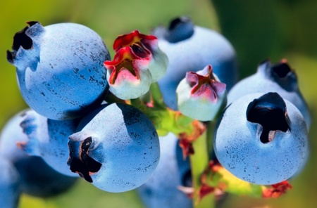 Juicy Blueberries ripening on the bush Stock Photo - 11550349