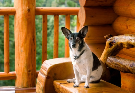 pups: Jack Russel Terrier Dog Relaxing On Hand Hewn Log Bench On Deck At Mountain Log Cabin