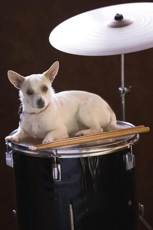 LIttle Drummer Jack Russell  Фото со стока