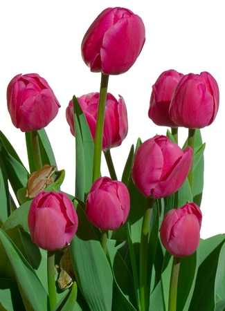 A beautiful bunch of purple or pink tulips isolated on white with two cute tree frogs photo