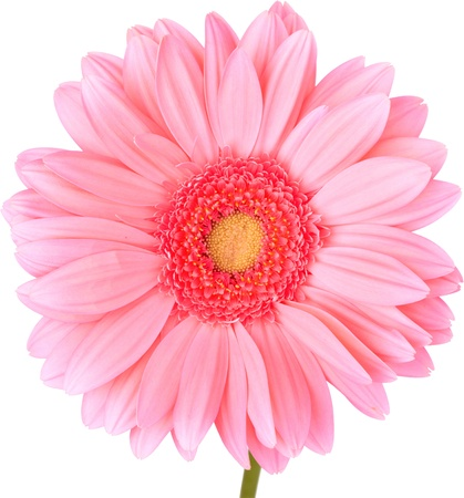 Peach Gerbra Daisy Isolated On White ~ Clipping Path Included photo
