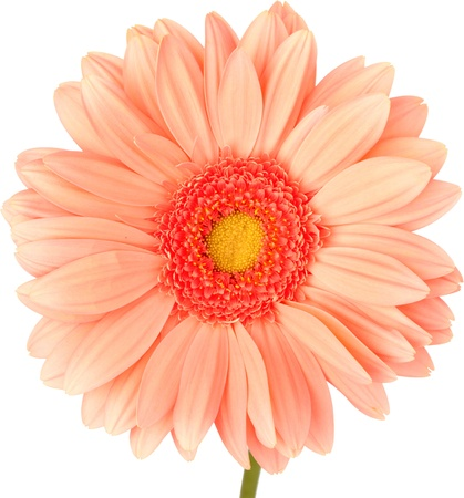 gerber: Peach Gerbra Daisy Isolated On White ~ Clipping Path Included
