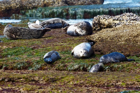 sea pollution: California Harbor Seal Parents and Pups Resting In Pacific Tide Pool At Low Tide