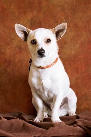 Chihuahua  Banco de Imagens