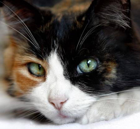 Close Up Di Calico Cat con bellissimi occhi verdi blu