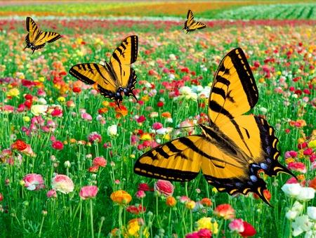 Eastern Tiger Swallowtail Butterfly ~ Flying In Multi Colored Ranunculus Flower Fields  photo