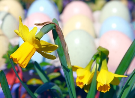 Multicolored Pink, Blue, Yellow and Green Easter Eggs and Yellow Daffodils  photo