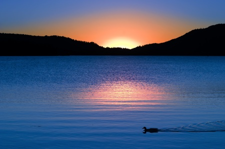 Golden Rose Sunset Reflections And Swimming Duck