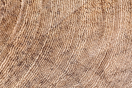 Natural Colored Wood Cross Section Slice Of Ficus Tree Trunk Showing Detail Of Concentric Growth Rings