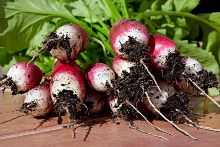 Bunch of Freshly Picked Red & White Organic French Breakfast Garden Radishes Waiting To Have Soil Washed Off Roots photo