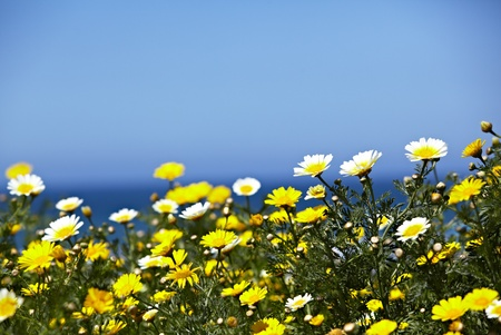 Native Field Of California Crown daisys, Chrysanthemum coronarium With The Ocean or Sea and Blue Sky In The Background Archivio Fotografico