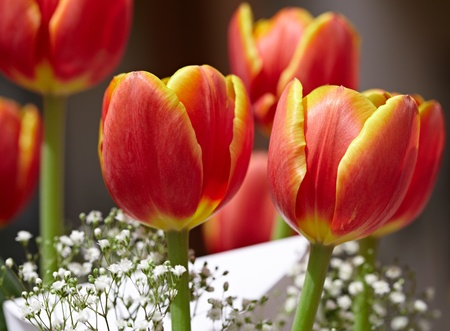 Bouquet Of Red &Yellow Tulips With White Holiday Greeting Card & Babys Breath Flowers