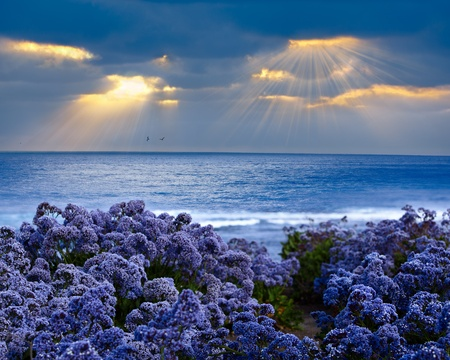 plateau of flowers: Limonium perezii ~ Lilac Purple Statice Sea Lavender Growing On Pacific Ocean Bluff At Sunset, God Rays Beaming Through Stormy Cloud Covered Sky Stock Photo