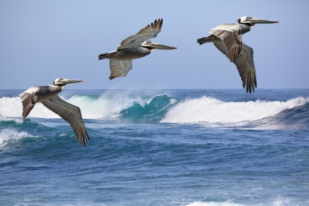 Group Of Three California Brown Pelicans In Flight Soaring Over Pacific Coast