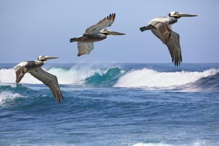 Un gruppo di tre California Brown pellicani in volo Soaring Costa corso del Pacifico Archivio Fotografico - 19938305