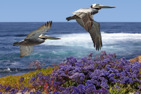 coastline: Two California Brown Pelicans In Flight Soaring Over Pacific Coast Sea Waves ~ Pelecanus occidentalis ~ Ocean Surf With Spring Sea Lavender, Purple Statice, Sea foam or Marsh-Rosemary Flowers ~ Limonium californicum