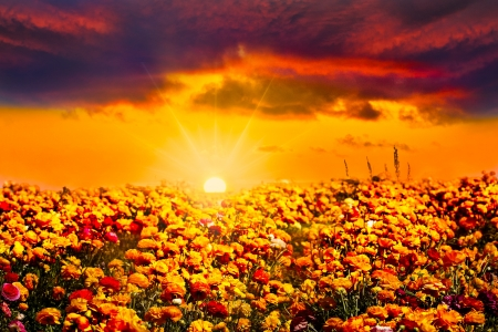 Golden Orange Blue Sunset With Sunbeams And Sunlit Clouds Over Colorful Field Of Fresh Orange, Red, Yellow and Purple Ranunculus Flowers