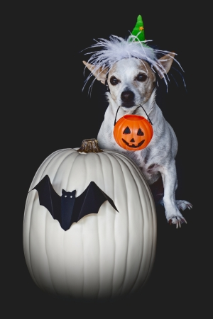 Small Terrier Chihuahua Dog Who Is Willing To Do Tricks For Treats On Halloween With White Pumpkin Decorated With Black Bat Holding Orange Candy Pail and Wearing Green Feather Witch Hat