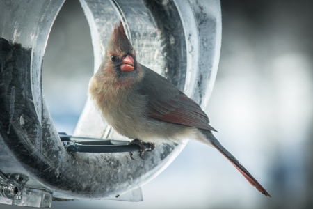 female cardinal: Adult female cardinal on feeder