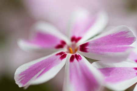 blossom of a purple daisy
