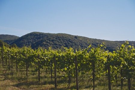 Vines in front of wooded mountains Standard-Bild