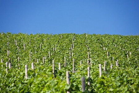 green vines on a summer day Standard-Bild