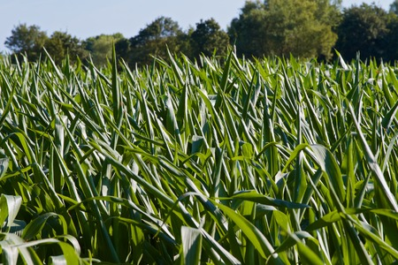 maize plants in the summer