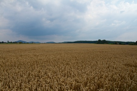 A wheat field before rain Standard-Bild