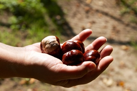 Several chestnuts in a hand Standard-Bild