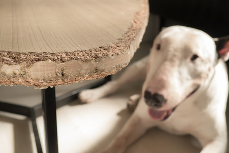chewed: Chewed wooden table and Bull terrier dog