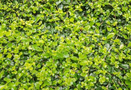 ebony: Texture of Ebony leaf tree  (Diaspyras Rhocalyx) for background Stock Photo