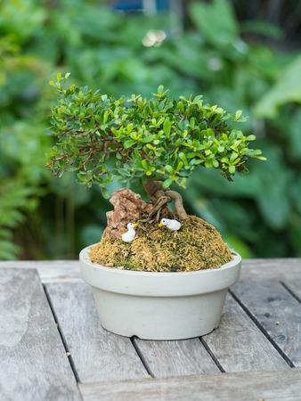 ebony: Bonsai Ebony ( Diospiros rhodocalyx) tree on wooden table