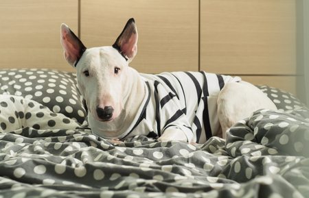 strip shirt: White Bull terrier dog with strip shirt on polka dot bedroom Stock Photo