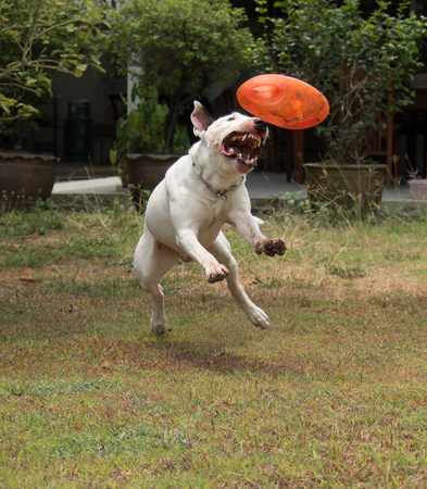 chewed: Bull terrier dog playing and  bite a rugby rubber dog toy Stock Photo