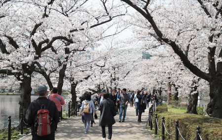 TOKYO, JAPAN - APRIL 06. 2016: Ueno Park is spacious public park in the Ueno district of Taita, Tokyo, Japan.Itis the most famous place to people relaxing and enjoy viewing cherry blossoms sakura. Editorial