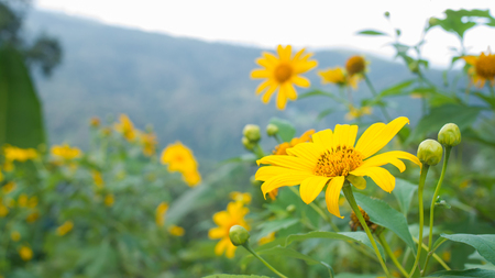 Yellow flowers. Background is the mountain at Queen Sirikit Botanic Garden- Mae Rim, Chiang Mai , Thailand Фото со стока