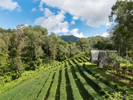 Landschaft des Hauses in der Teeplantage bei Doi-Montngo, Chiang Mai, Thailand Standard-Bild - 89468109