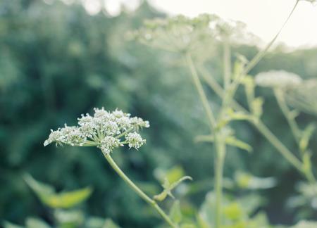 Weiße Blumen Feld (Vintage Tonfarbe) hautnah Standard-Bild - 89468112