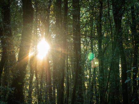 Sonnenaufgang durch die Bäume im Wald Standard-Bild - 89468113