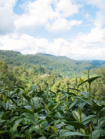 Grüne Teeblätter in der Teeplantage bei Doi-Montngo, Chiang Mai, Thailand Standard-Bild - 89468114
