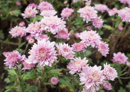 Schöne rosa Mamablume im Garten Standard-Bild - 94236931