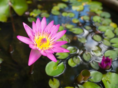 Schöne Blume des Lotos (waterlily) im Wasser Standard-Bild - 94207767