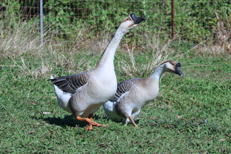 maui: Geese in grass on a farm in Maui Stock Photo