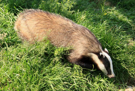 An adult badger foraging for food photo
