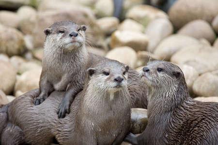 hunter playful: Three otters posing