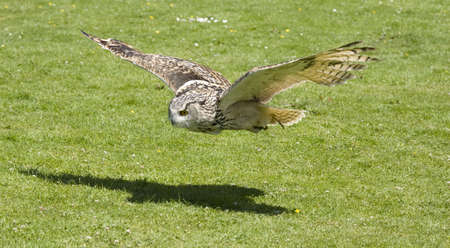 flying eagle: Low flying eagle owl Stock Photo