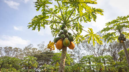 Image of a maradol papaya crop with ripe fruits ready for harvest in Valle del Cauca Colombia