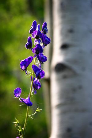 Purple Monkshood Flower